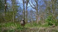 Vlaamse gaaien (bogers) Tags: film vogels denhaag bos bogers vogel vlaamse gaai vlaamsegaai marlot filmpje reigersbergen 20130427