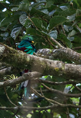 untitled-8486 (stoupaduck) Tags: costarica monteverde quetzal