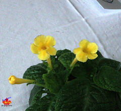 Exhibition of African Violets & other Gesneriads - Episcia 'Jim's Daphnee Choice' C20130420 235 (fotoproze) Tags: flowers flores fleurs blumen fiori  blommor bungabunga bloemen blomster kwiaty hoa  flors africanviolets loreak blm iek saintpaulia blodau   flori  gesneriads kvtiny   virgok kvety kukat cvijee  cvetje    blthanna