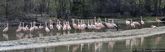 Caribbean Flamingos at The Bronx Zoo (Concert_Photos_Magazine) Tags: newyorkcity usa newyork birds zoo waterfoul unitedstatesofamerica flamingos bronxzoo phoenicopterusruber wildlifeconservationsociety caribbeanflamingos 1926807502