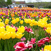 Burnside Tulip Farm 2013-7001.jpg