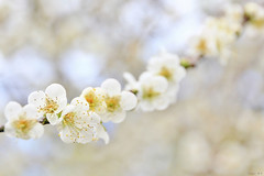 Simply (Singer ) Tags: light white flower tree composition canon dof bokeh taiwan singer   simply pure   plumblossom          prunusmume            singer186