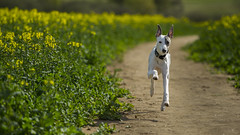 Whippet puppy in rapeseed path (redeyesatdawn) Tags: dogs puppy path running whippet pup rapeseed
