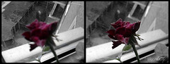 No More Dead... Give Me Red! (MiRaGe008) Tags: flowers red rose dead mirage mirage008