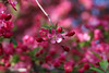 Fresh (ohgoodgracious) Tags: pink flowers red flower tree floral spring flora soft blossom bloom april delicate springtime blooming crabappleblossom appleblossomtree awesomeblossoms persephonesgarden