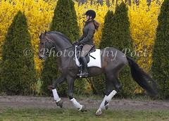 Bernoulli (Photography Poet) Tags: horse dutch caballo cheval bay riding bahia forsythia pferd medio horseback canter equine petit baie kort hst bernoulli dressage galope galopp galop langsam braune cabalgar galoppieren wamblood