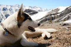 Serac (Marko Stavric) Tags: dog mountain canada mountains kananaskis rockies spring husky hiking may hike mount alpine alberta rockymountains canmore scramble eastend rundle scrambling eeor wildland bowvalley serac d7100 bowvalleywildland