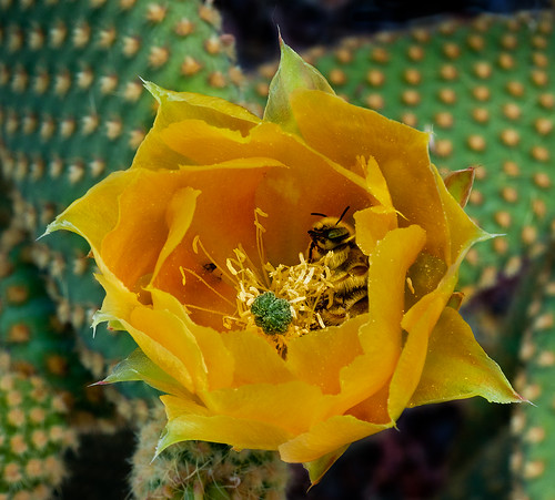 Cactus Flower With Occupant