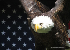 Liberty (OnyxDog86) Tags: bird liberty zoo eagle united bald patriotic raptor prey states hogle