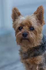Miss Emma (Don Price (jr)) Tags: dog yorkie canon yorkshire terrier 6d 70200f4l