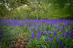 BlueBell Woods (smokeygoose) Tags: flowers color colour english nature bluebells woodland countryside spring woods woodlands colourful sigma1770 60d canon60d
