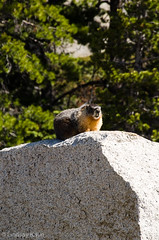 My First Marmot (lindsay_kaun) Tags: california mountains landscapes marmot yosemitenationalpark tiogaroad