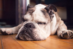 Sleepy Leroy (Solid Bond) Tags: sleeping dog newhampshire bulldog portsmouth leroy thewildarctic