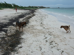 2013-06-04 Casitas Kinsol dogs at the beach - Puerto Morelos - Quintana Roo - Mexico (3) (Alain Berthelot) Tags: dog storm beach dogs rain june fun puerto juin andrea taxi beaches tropical nena plage rains between morelos morales plages 2013 moralos