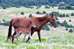 Trip to La Veta, Colorado (Larry Lamsa) Tags: laveta colorado lamsa horses wildhorses foal