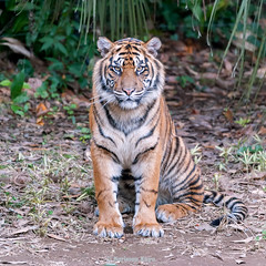 Damai   - The Other Birthday Girl (Harimau Kayu (AKA Sumatra-Tiger)) Tags: damai peace mimpi dream guntur dell tiger zoo usa thesmithsoniannationalzoologicalpark washington dc thunder zoorasia yokohama zoological gardens japan cat asian asiancat bigcats sumatran pantheratigrissumatrae animal sumatratiger tigredesumatra  tygrsumatersk tygryssumatrzaski sumatraansetijger szumtraitigris tigre  tygr tijger tigris    hsumatra sumatrakaplan     harimausumatera  predetor beast carnivorous flesheating tiikeri nationalzoo soy soyono thetemptation gunchan camouflage tigerstripes guntursdaughters daughters cub sumatrantigercub sisters carnivore feline