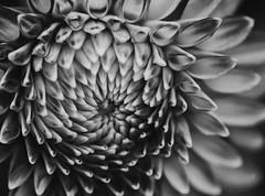 Texture Alone (sunrisesoup) Tags: dahlia flower volunteerpark displaygarden seattle wa usa