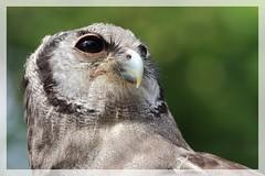 Portrait de chouette (R. Bartho) Tags: extrieur animal oiseau rapace portrait closeup profondeurdechamp canon eos7dmkii
