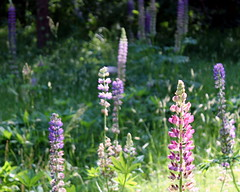 gniazdowo lupinus flowers 2015 (4) (kexi) Tags: flowers many lupinus green pink blue purple gniazdowo polska poland canon june 2015 instantfave