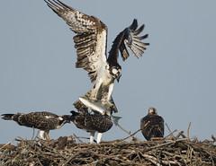 ..Striper for Sunday Breakfast.. (turtlehawk) Tags: osprey bluecoast bethanbeach wildlife nature 072416 bethany cardinal greenheron woodpecker