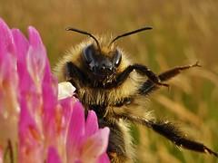 Fuzzy Bee..x (lisa@lethen) Tags: bee clover flower macro closeup nature wildlife wildflower