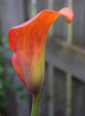Calla Lily (Bebopgirl1969) Tags: lily callalily orange green purple flower garden