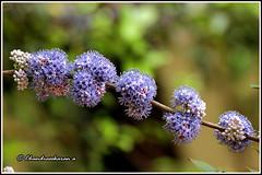 6374 - memocylon umbellatum (chandrasekaran a 34 lakhs views Thanks to all) Tags: memocylon umbellatum trees flowers nature india chennai canon60d