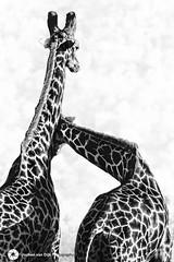 Reliance (Jochen van Dijk) Tags: giraffe blackandwhite wildlife sepia sepiatone pattern shape toning bw wildlifephotography safari africa wildplanet nikon nature square art fineart animal travel photography photogram picoftheday natgeo animalperfection photosafari southafrica africanwildlife wildaid wildlifeplanet