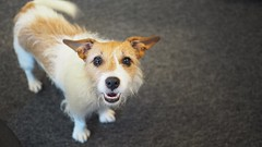 Office dog (hlehto) Tags: dog pet jackrussell terrier