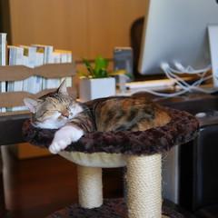 20160817cats004 (detsugu) Tags: 20160817 cats kinako