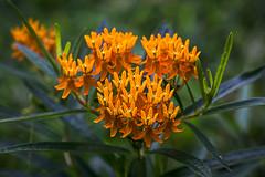 food for monarchs (milkweed)