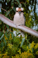 IMG_5645 (bektravels) Tags: sigma 150600mm c canon70d birding wildlife australia australian kookaburra bird native gumtree wattle tree wild