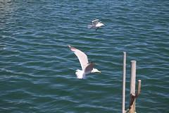 Chatham Fish Pier (robincagey) Tags: chatham cape cod seals seagulls gulls wildlife fish pier fishing boats animals massachusetts