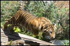Suka - Action Kitty! (KRIV Photos) Tags: sandiego sandiegozoo tiger sumatrantiger