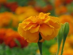 Summery warmth ... :-) ( Bo ) Tags: frenchmarigold tagetes garden backyard yard canong16 powershot macro bokeh focus colourful orange yellow green colour england britain uk europe european dof petal nature bloom summer 2016 august summer2016