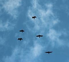 Flug. (universaldilletant) Tags: castricum kormoran kormorane flug himmel sky wolken clouds