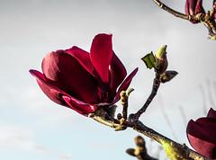 DSCF4501 (kiwibloke888) Tags: outdoor garden fujixt1 xf35f14 flower botanical flora magnolia branches spring
