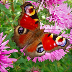 peacock butterfly.......... (atsjebosma) Tags: peacockbutterfly dagpauwoog vlinder kleurrijk colorful macro atsjebosma groningen thenetherlands september 2016 ngc coth5 npc