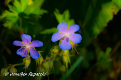300. Photo - Geraniums (Bernsteindrache7) Tags: summer spring sony alpha 100 flora fauna flower green park bloom blossom blume blue