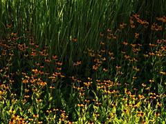 1 with Grass and Blossoms Mix (poem below) (Robert Cowlishaw (Mertonian)) Tags: field flowersandgrass blossoms flowers mertonian robertcowlishaw canon powershot g7x mark ii canonpowershotg7xmarkii green yellow noon mix 1 wonder ineffable awe beauty nature garden translucent