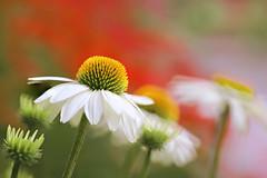 White Swan Coneflower (lfeng1014) Tags: whitetullepetals coneflower whiteconeflower echinacea echinaceapurpureawhiteswan whiteswanconeflower macro macrophotography 100mmf28lmacroisusm canon5dmarkiii closeup bokeh depthoffield dof flower lifeng