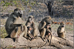 Baboon family (Petri_) Tags: chacmababoon papioursinus primate family troop savanna treestump krugernationalpark southafrica nikond300s