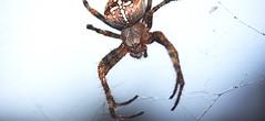 Araneus diadematus close-up (red.fox.child) Tags: spider garden spiderweb araneus diadematus animal animals wildlife life nature macro closeup eyes cute female beauty arachnid arachnidae