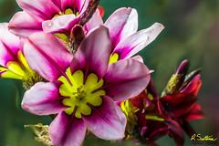 Patflowercluster.jpg (raysul) Tags: flower macro flowerphotography floralart closeup depthoffield decorative beautyinmacro