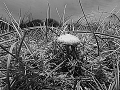 A Fun Guy under a stormy sky (Tyrone Williams) Tags: mushroom toadstool funghi fungus grass nature black white2 monochrome sky storm stormy alone desolateseptember kenfig wildlife canon canonsx60hs plant insect beach sea wales plants insects
