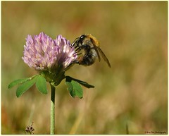 Morgen-Nektar (mayflower31) Tags: wiese garten sommer klee blume flower biene bee