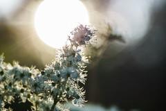 Sun Sun Sun here it comes (*Capture the Moment*) Tags: 2016 backlight bloom blossom blten bokeh gegenlicht pflanzen sonne sonnenuntergang sonynex7 sun sunset trioplan28100neo wetter blossoms weiss white