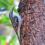 Brown Creeper thumbnail