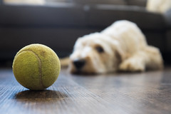 Is It Playtime Yet? (nophoto4jojo) Tags: activeassignmentweekly dog ball play sad floor dirty couch house fujifilm x100t lightroom 4 bestofweek1 bestofweek2 bestofweek3 bestofweek4 bestofweek5