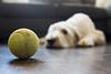 Is It Playtime Yet? (nophoto4jojo) Tags: activeassignmentweekly dog ball play sad floor dirty couch house fujifilm x100t lightroom 4 bestofweek1 bestofweek2 bestofweek3 bestofweek4 bestofweek5